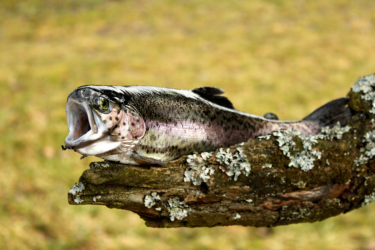 Themenfotografie outdoor // Forelle // Fish out of water