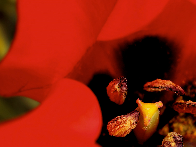 Themenfotografie outdoor // rote Tulpe // Rgb